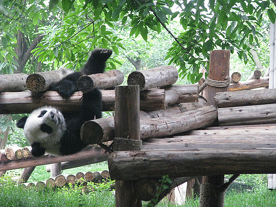 Panda on fence