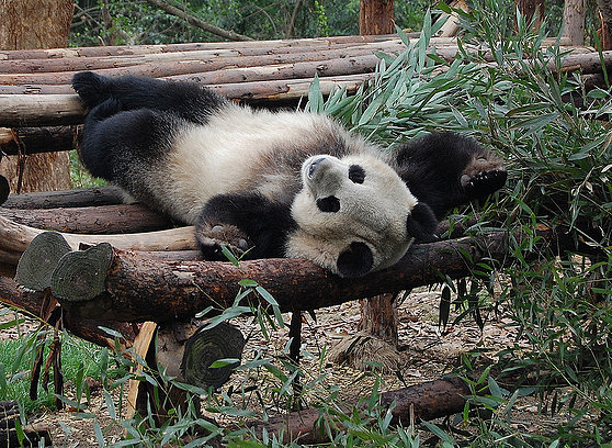 Panda sleeping on logs
