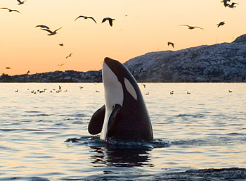 Killer Whale Facts | O...