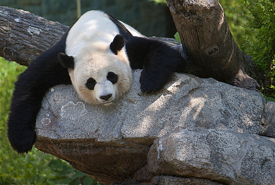 Panda on rock