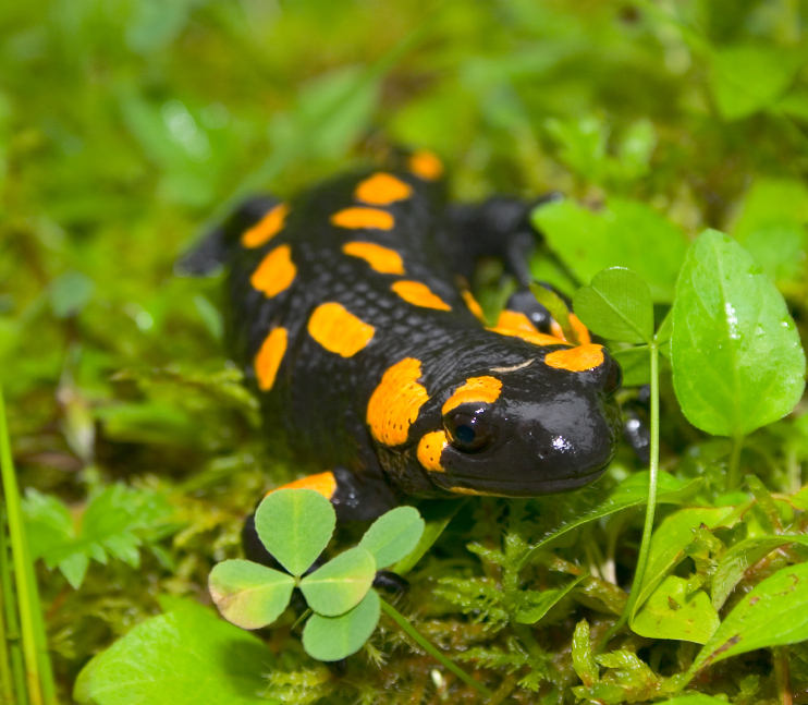 Spotted Salamander Facts for Kids