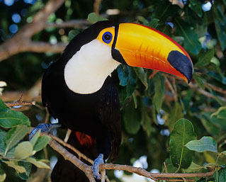 Image result for image of a toucan