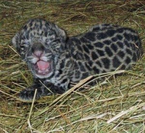 Baby jaguar at Brevard Zoo