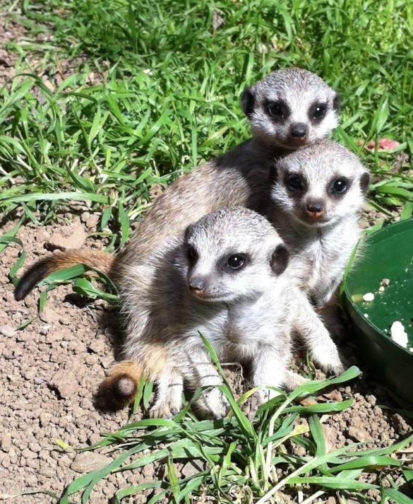 Meerkat pups at Oakland Zoo