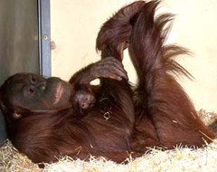 Orangutan baby