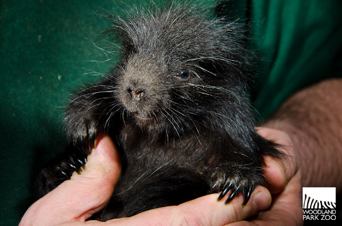 Baby porcupine at Woodland Park Zoo