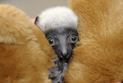 Baby lemur