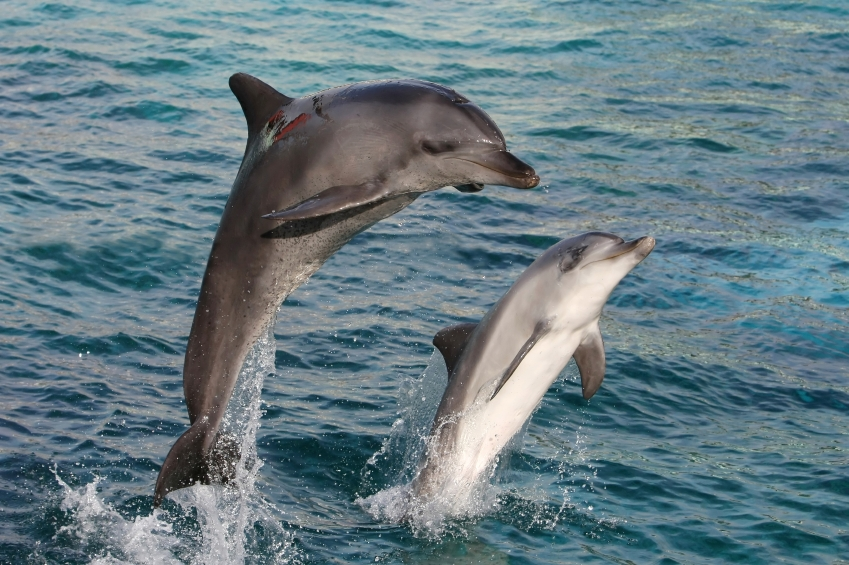 Bottlenose Dolphin Playing | www.pixshark.com - Images ...