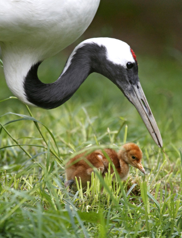 Red-crowned crane chick