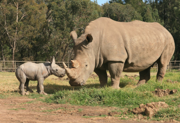 The baby white rhino, yet to be named, with mother Mopani. Photo credit: Leonie Saville, Taronga Western Plains Zoo.