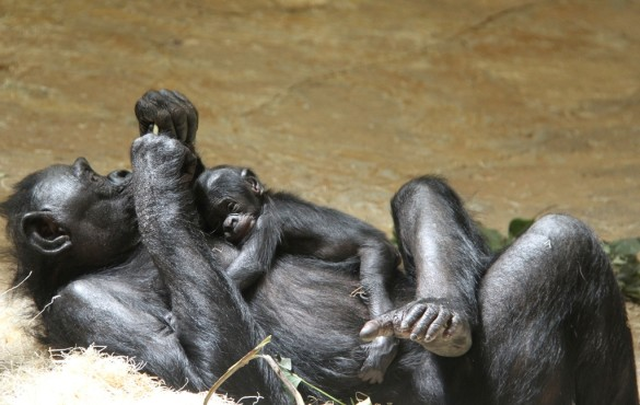Bonobo and baby