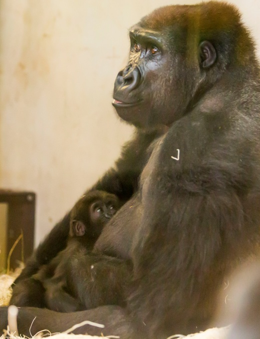 Nayembi and mama gorilla at the Lincoln Park Zoo