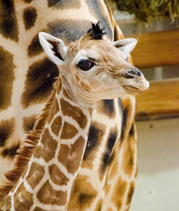 A giraffe calf was born recently at the Woodland Park Zoo in Seattle. Photo by Ryan Hawk / Woodland Park Zoo.