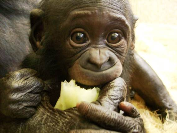 Bonobo baby up close