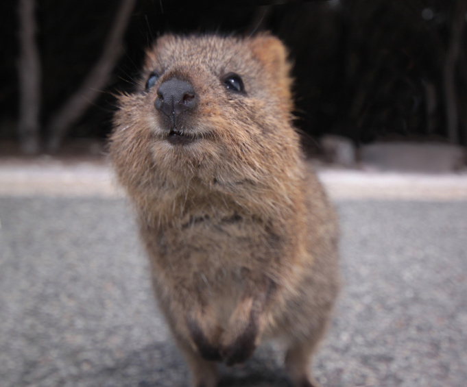 Baby quokka smiling - photo#7