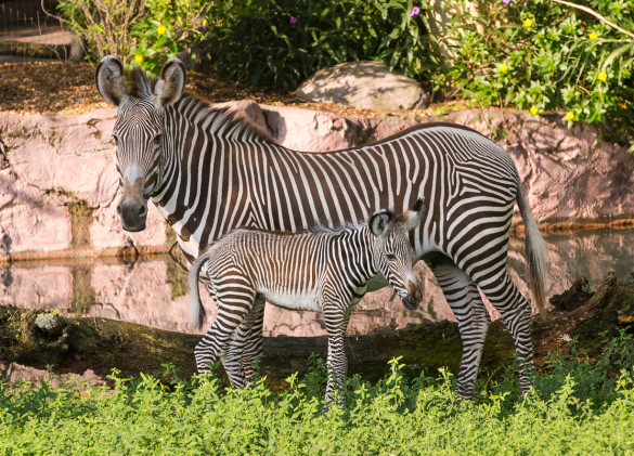 Grevy's zebra calf and mother