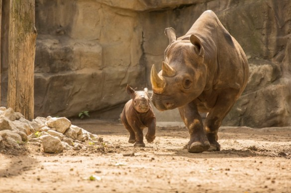 King and Kapuki, rhinos at the Lincoln Park Zoo.