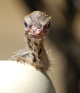 Ostrich chick hatching