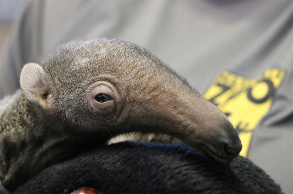 Baby giant anteater at Nashville Zoo. Photo by Heather Robertson / Nashville Zoo.