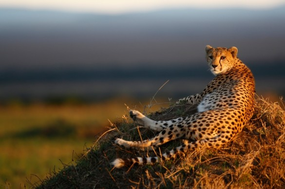 cheetah_relaxing