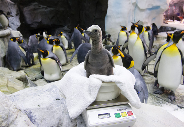 Two-week old king penguin chick at SeaWorld Orlando.