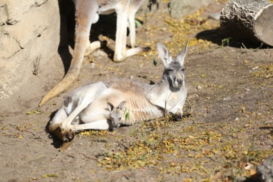 Red Kangaroo mom and joey
