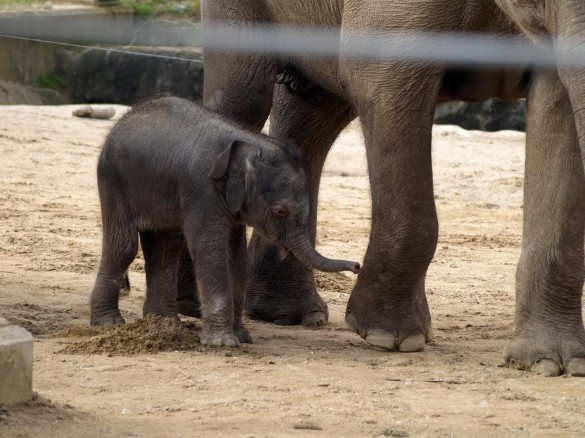 Baby elephant at Twycross Zoo.