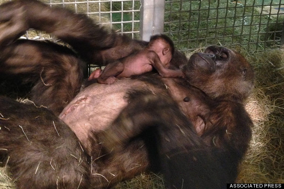 n this photo taken on Monday, March 24, 2014, and provided by the San Diego Zoo Safari Park, a 12-day old baby gorilla is physically introduced to her mother, Imani, for the first time at the San Diego Zoo. (AP Photo/San Diego Zoo Safari Park, Matt Gelvin)