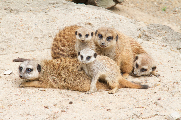 Memphis Zoo welcomed two male meerkat pups on February 27. Photo by Laura Horn, courtesy of Memphis Zoo.