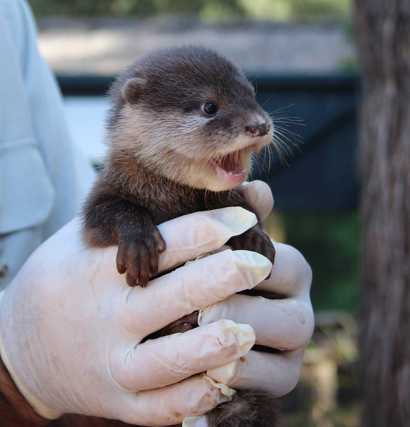 Otter pup at Taronga Western Plains Zoo