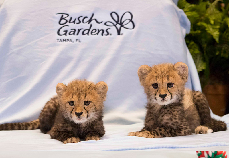 baby cheetah Archives - Animal Fact Guide