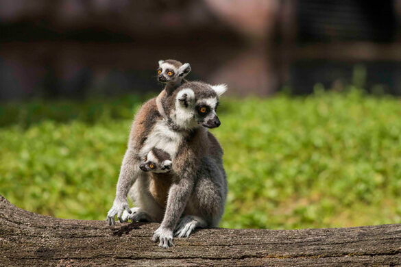 Lemur mother and babies