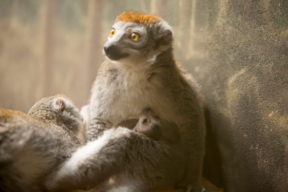 Crowned lemur and baby