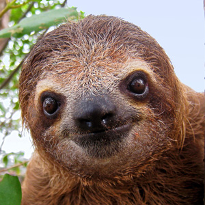 brown throated sloth fun facts