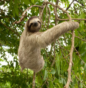 Three-toed sloth in canopy