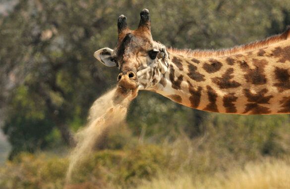 Giraffe spitting dust