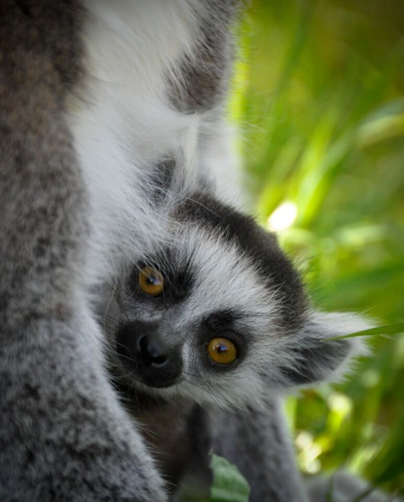 Ring-tailed lemur baby at Taronga Western Plains Zoo