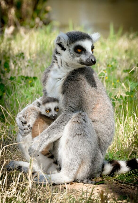 Ring-tailed lemur and baby