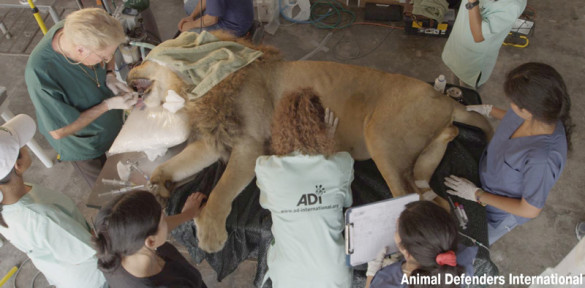 Lion receiving dental surgery.