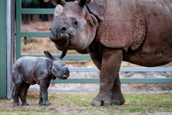 greater one-horned rhino baby and mama