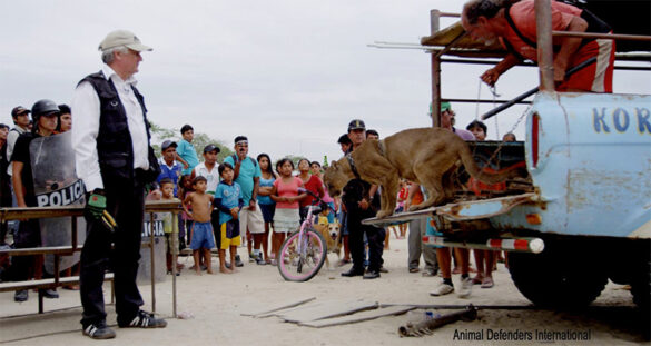 Mountain lion freed from circus truck