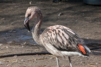 Chilean Flamingo chick