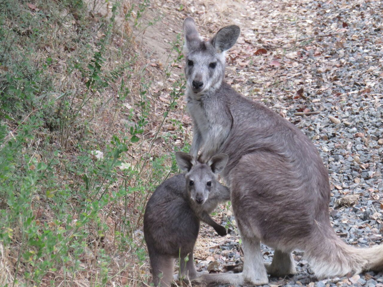 wallaroo - photo #8