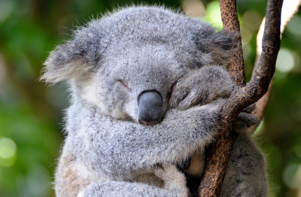 featured animal koala   animal fact guide