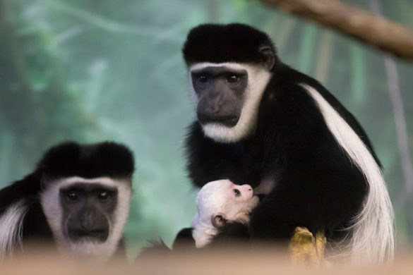 Colobus monkey baby and mother