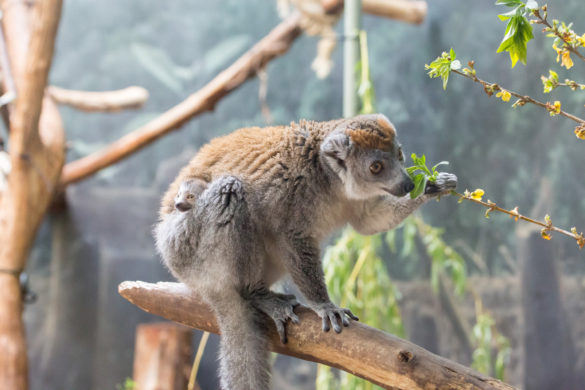 Crowned lemur baby and mother at Lincoln Park Zoo