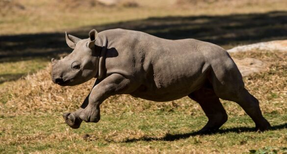 Black rhino calf running
