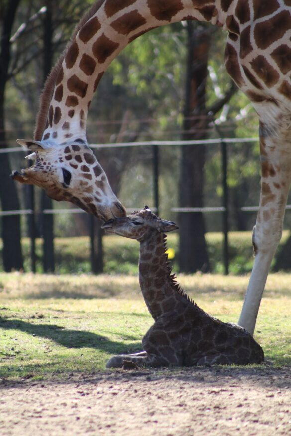Giraffe calf and his mother at Taronga Western Plains Zoo