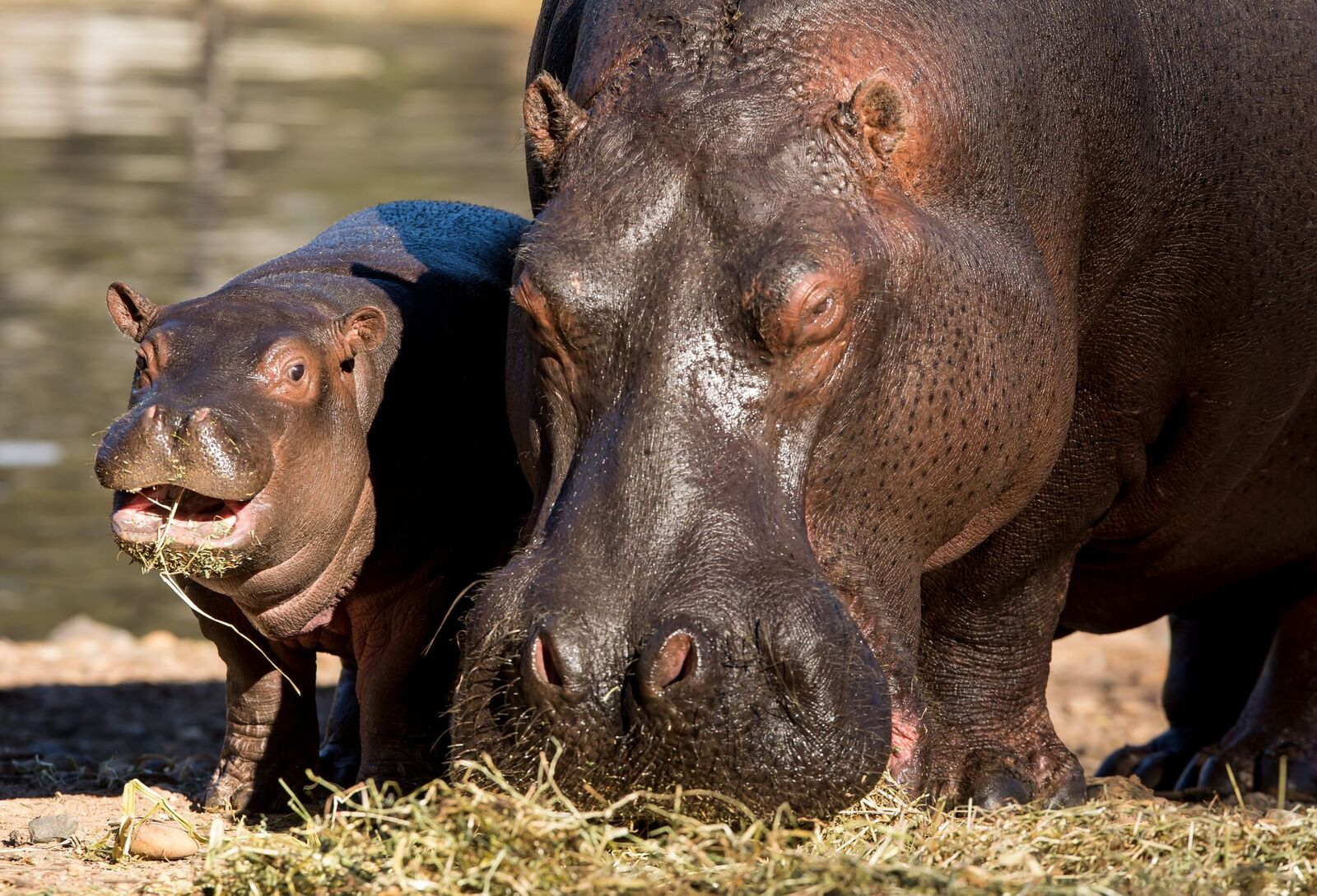 hippopotamus archives animal fact guide